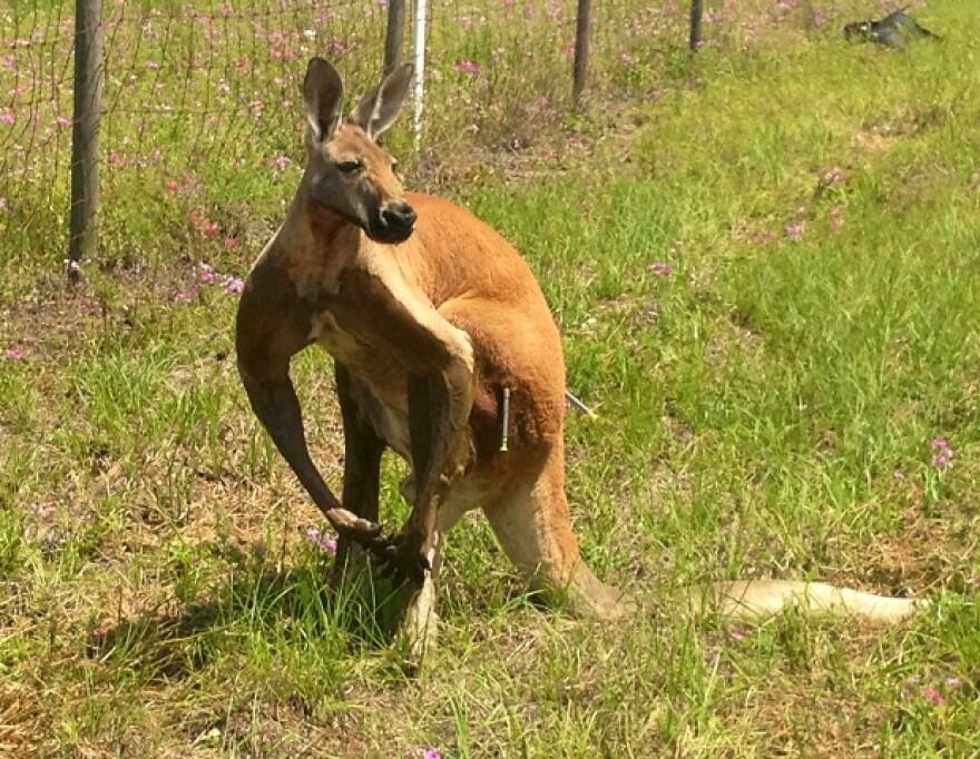 6-2-13_kangaroo_m.jpg
