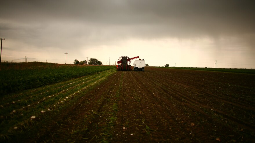 Farmers harvest a sugar beet crop in Gilcrest, Colo.