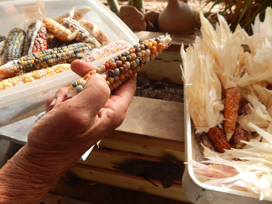 Glass Gem's translucent, rainbow-colored kernels made it an Internet sensation.
