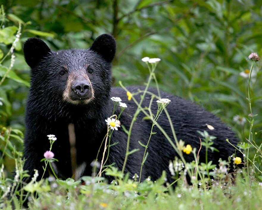 121520_provided_black bears.jpg