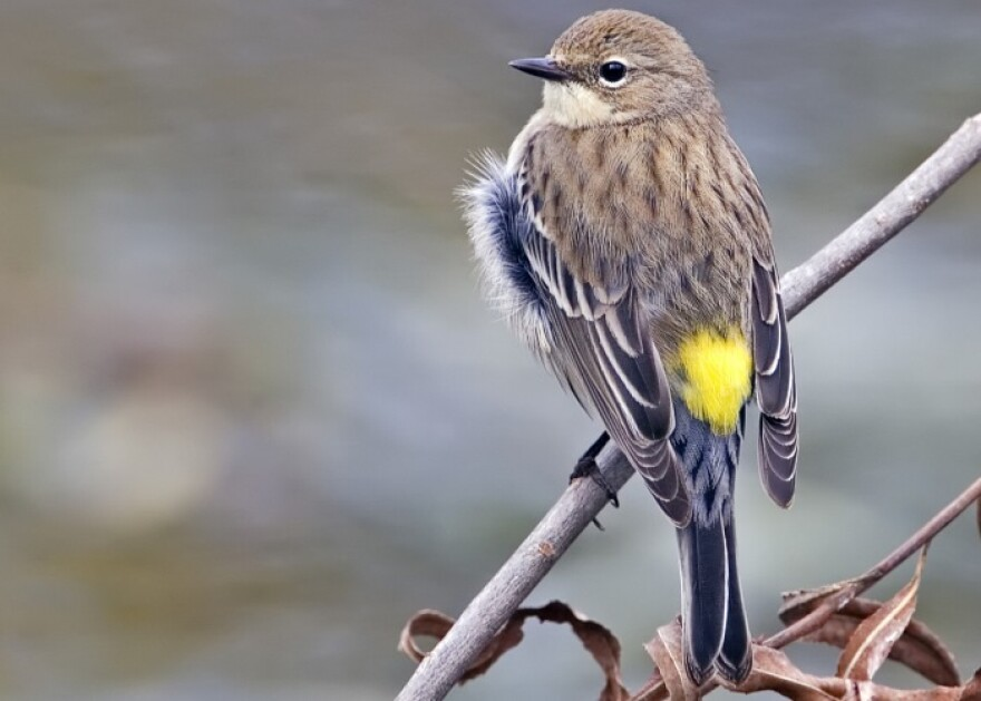 Yellow_rumped_warbler_-_natures_picsRS.jpg