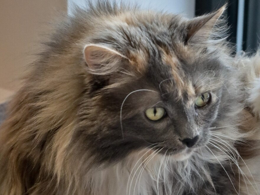 Griselda, 11, a domestic longhair cat who had already been declawed when she was surrendered by her owner for adoption, plays inside her enclosure at the Animal Haven pet shelter in New York.