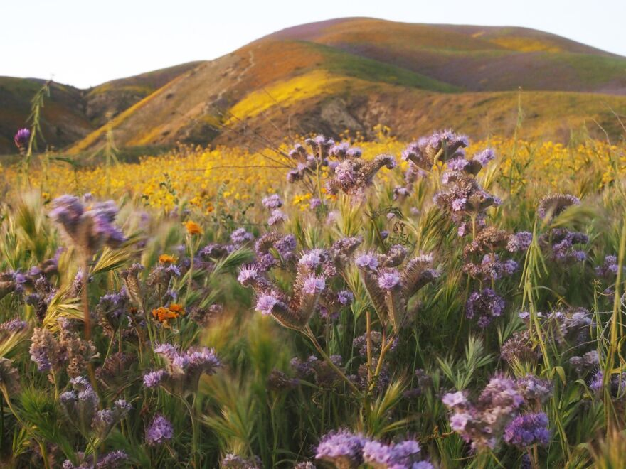 """Wildflowers cover the hills of the Tremblor Range in Carrizo Plain National Monument near Taft, Calif., during a wildflower """"super bloom"""" earlier this month."""