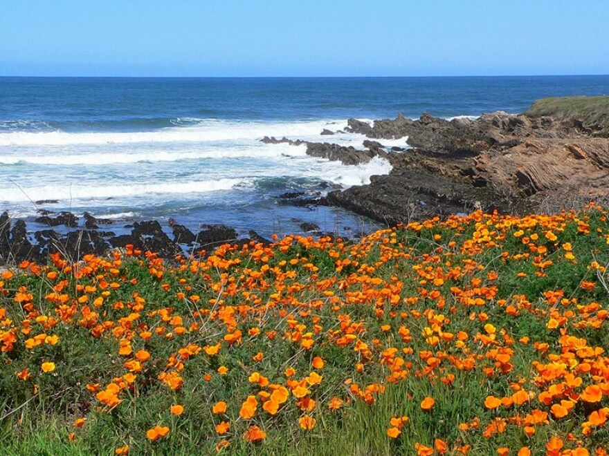 California poppies blooming at Montana de Oro State Park in the Morro Bay area.