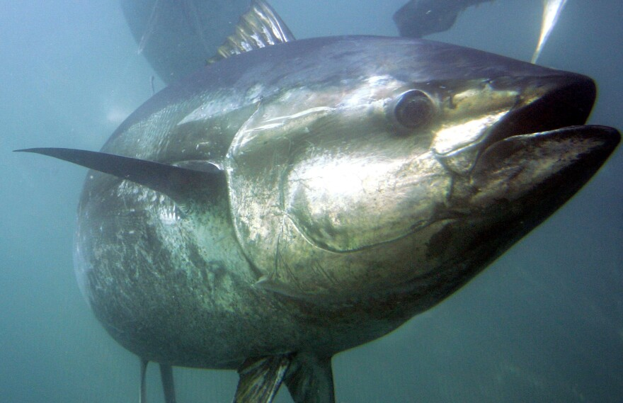 A bluefin tuna swims inside farming pens in 2007 prior to harvest near Ensenada, Mexico.