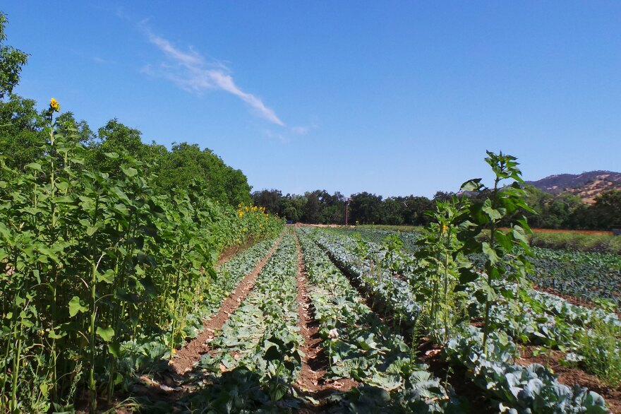 400-acre, organic Full Belly Farm, in California's Capay Valley north of Sacramento, is busier than ever trying to ramp up production to meet soaring demand. CSA programs almost everywhere report a surge in memberships and growing waiting lists.