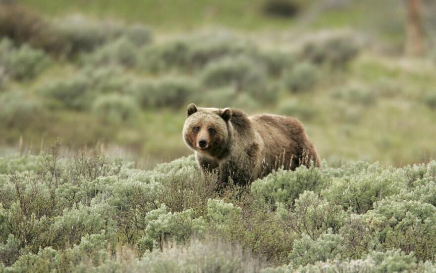 bear_in_yellowstone.jpg