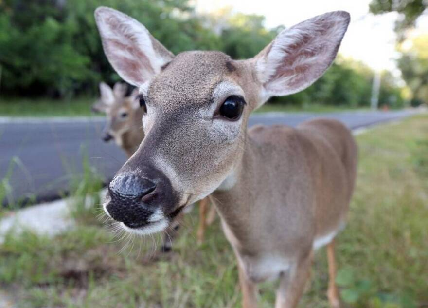 The world's only population of Key deer lives on the Lower Florida Keys. In recent years, the herd has dealt with a deadly screwworm outbreak and a Category 4 hurricane.