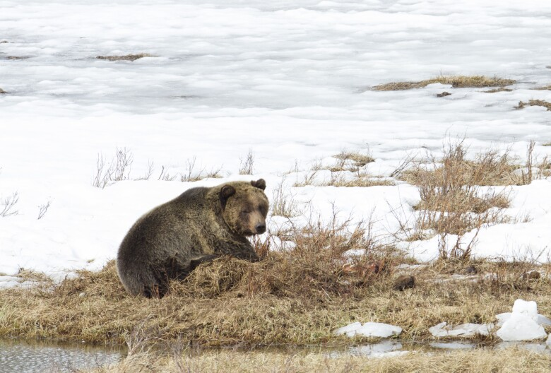 Grizzly bear mortality is high so far this year