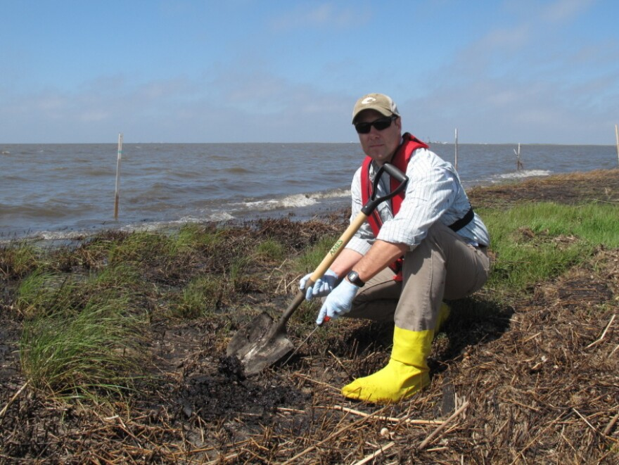 "Scientist Scott Zengel, who is overseeing the marsh survey crews on behalf of the National Oceanic and Atmospheric Administration, points to oily ""mousse"" that lies just a few inches below the surface of the marshland. This subsurface oil isn't being broken down by wind, rain, waves or sun."