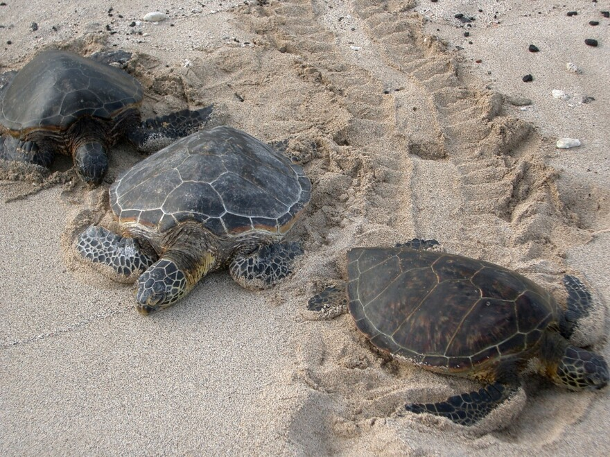Kona Sea Turtles