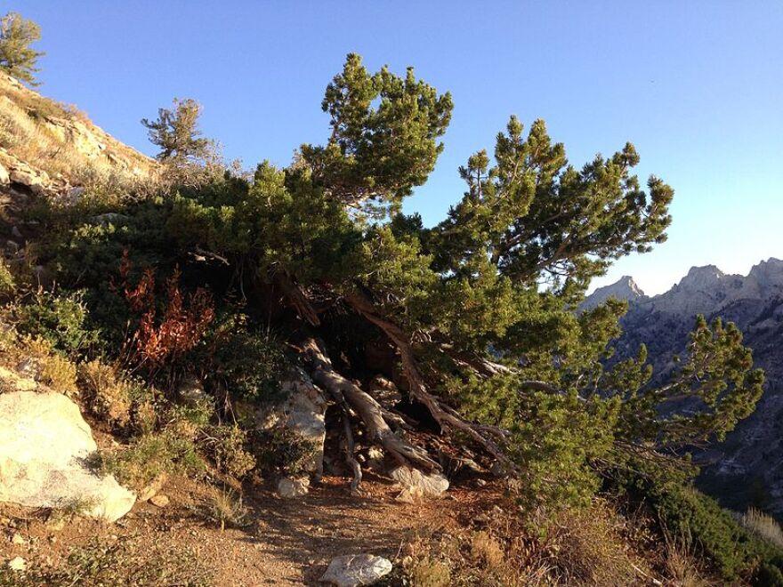 Whitebark Pine wikimedia commons.jpg
