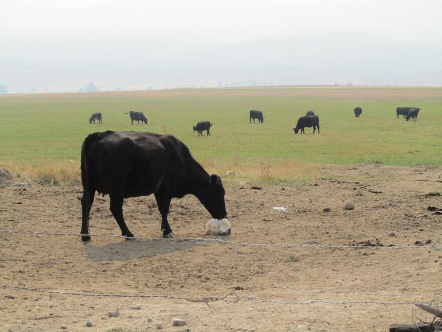An Angus cow licks a salt block in a field near Baker City, Ore.