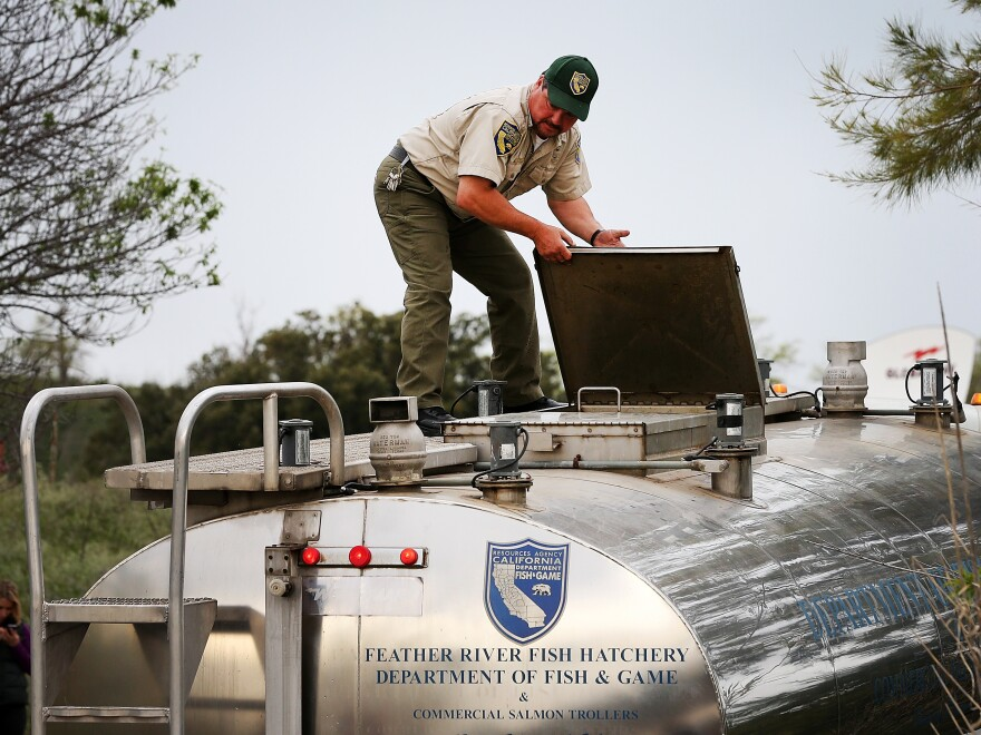 A California Department of Fish and Wildlife worker prepares to release fingerling Chinook salmon into the Sacramento River on Tuesday in Rio Vista, Calif.