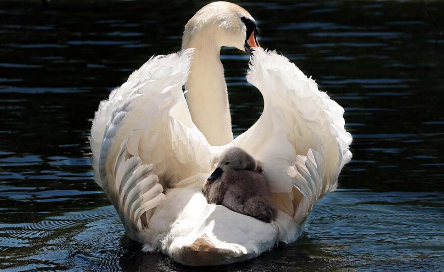 swan_and_baby.jpg