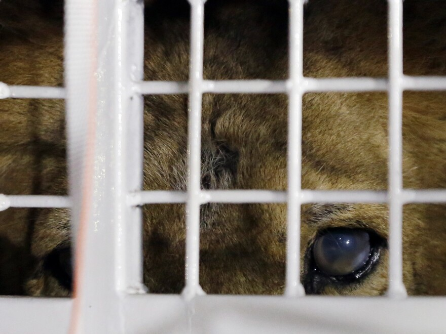 A former circus lion peers from inside a cage during their arrival at OR Tambo International airport in Johannesburg, South Africa, on Saturday.
