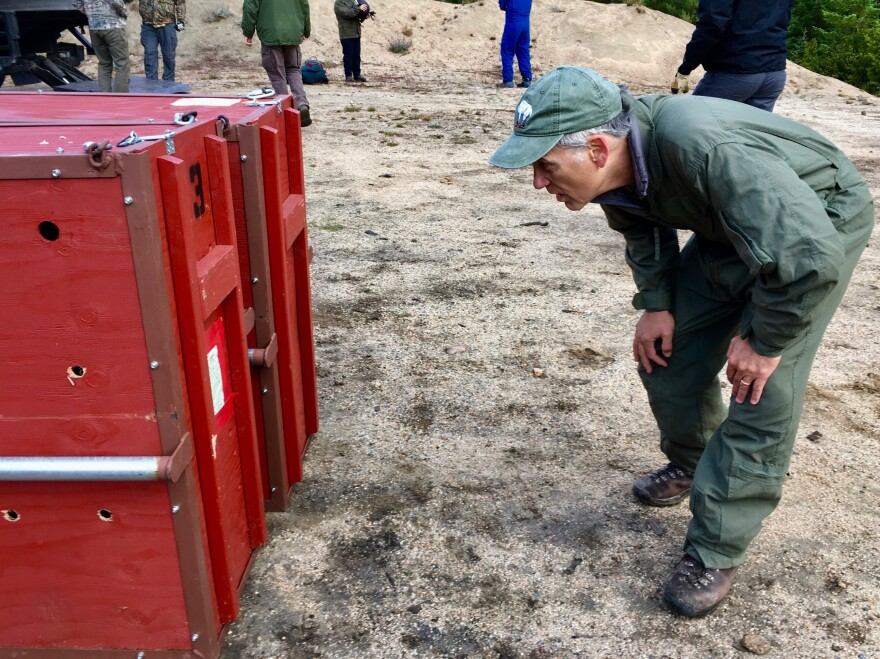 Professor David Wallin of Western Washington University has been studying mountain goats in the North Cascades for years. He's looking at a crate containing a goat ready for transport via helicopter.