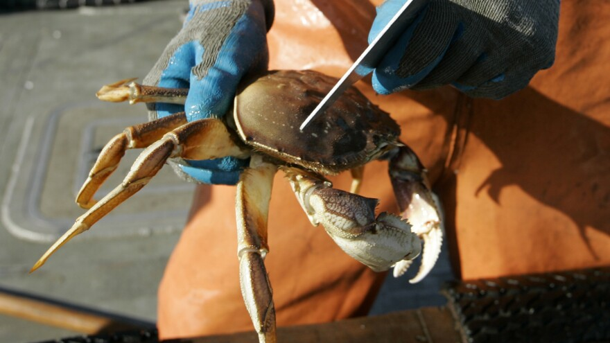 A fisherman checks the measurements of a Dungeness crab he just pulled in from the Pacific Ocean off Marin County, Calif.