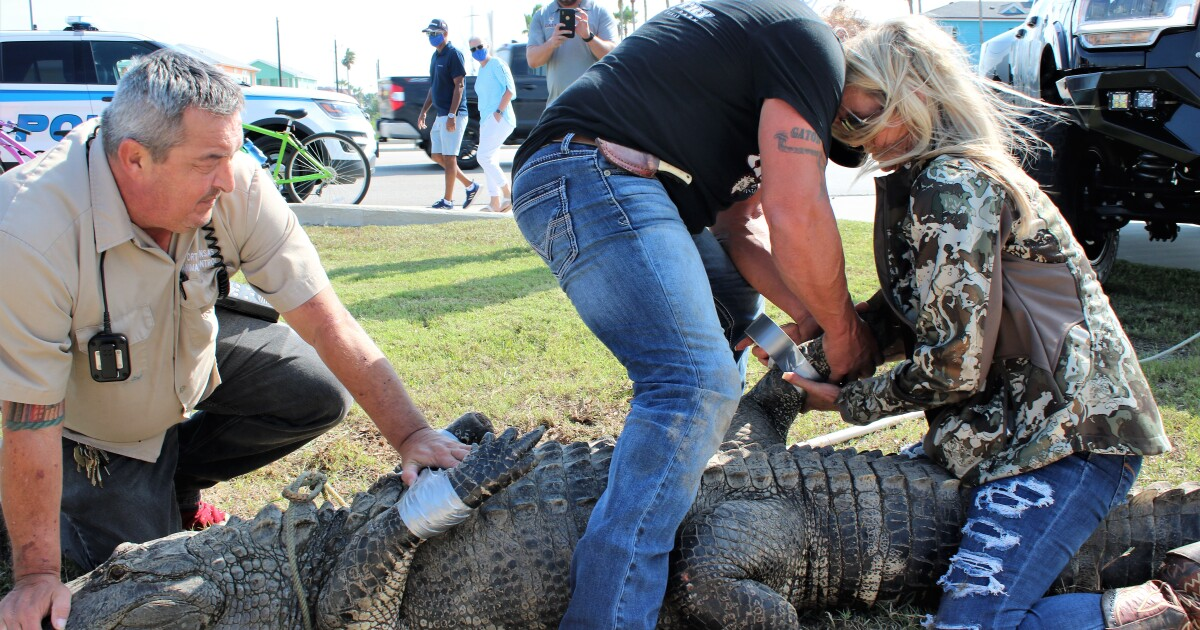 Alligator That Gained Celebrity Status In Port Aransas Moved To Animal Park Near Beaumont