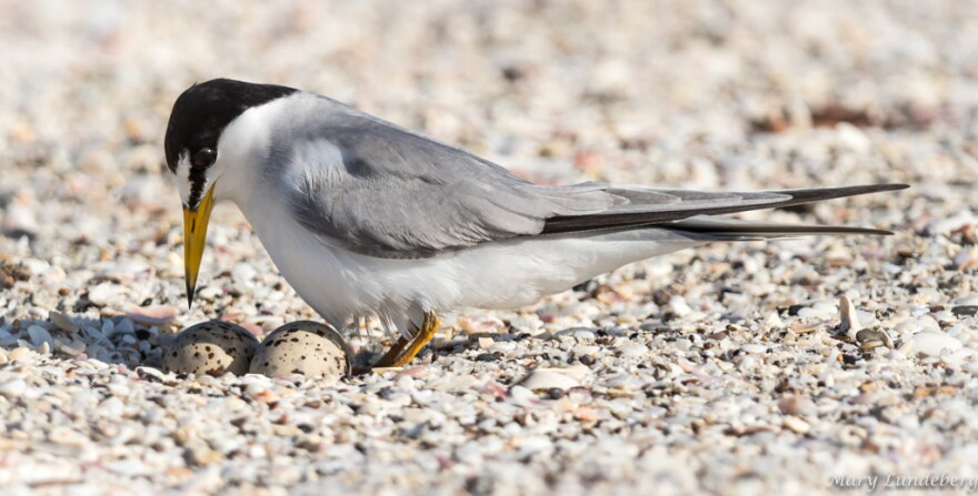 a gray, black and white bird hovers over its speckled eggs on the beach