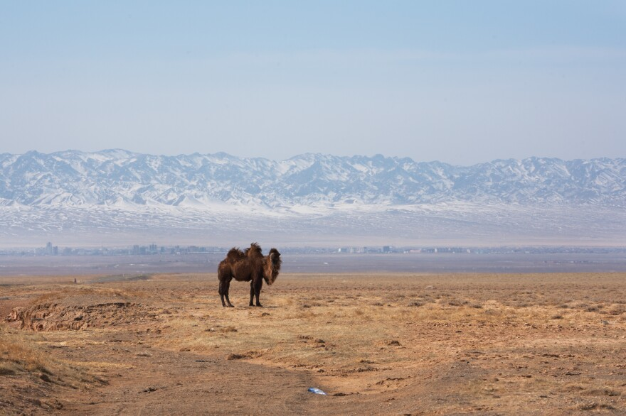 A Bactrian camel grazes alongside the road in Mongolia's Omnogovi province, where Bulgan Soum is located.