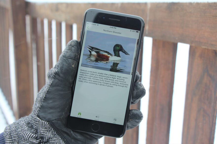 Reporter Celia Llopis-Jepsen used the Merlin app to find out more about the Northern Shoveler. (Celia Llopis-Jepsen)
