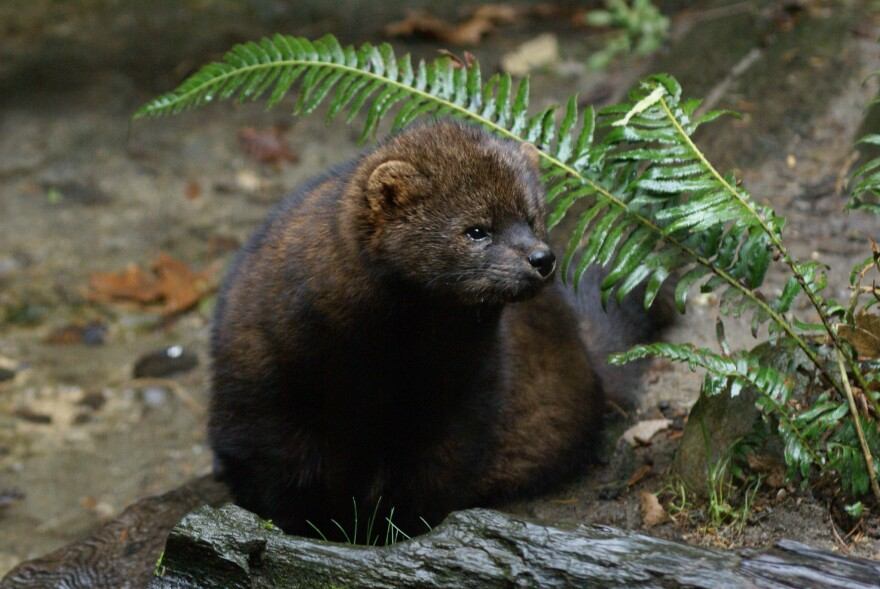 Image of a Pacific fisher in the woods