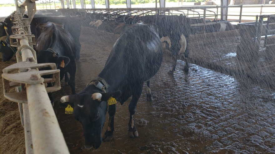 More dairy farmers are using fans and sprinklers to help cows deal with heat.