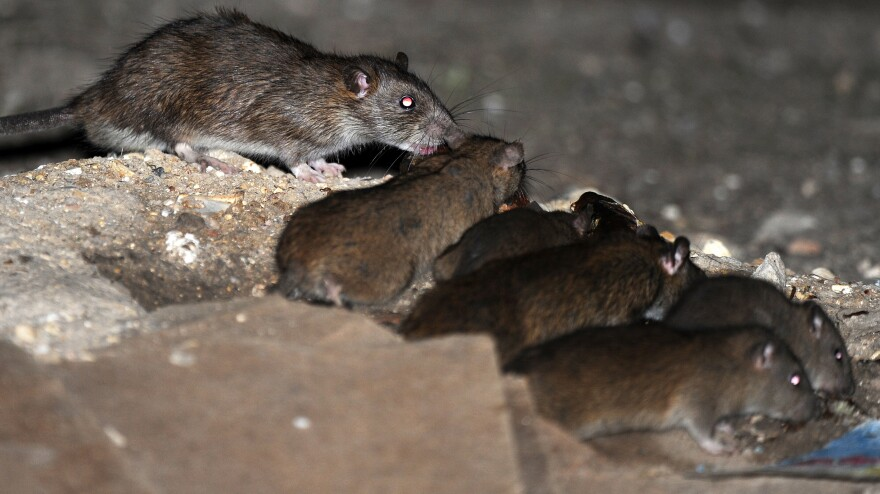 Rats aren't only problem in Tehran. These were running free over the weekend in Luton, England.