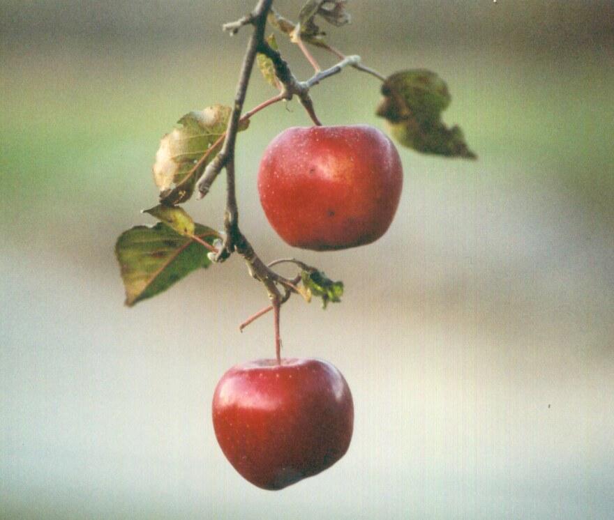 Apples_0.jpg