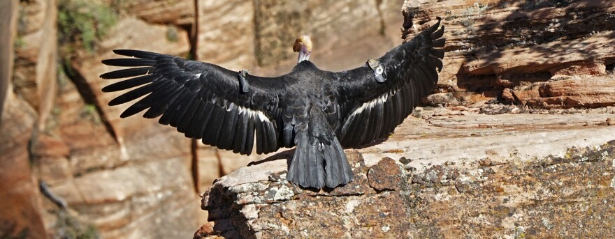 In this May 13 photo provided by the National Park Service, this female California condor spreads her wings. Biologists have confirmed that she laid an egg that has hatched and there is a new baby condor at Zion National Park.