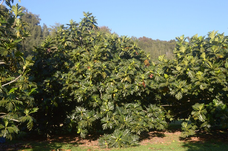 Breadfruit trees in fruit at the National Tropical Botanical Garden in Hawaii, where scientists have developed newer, hardier varieties of breadfruit.