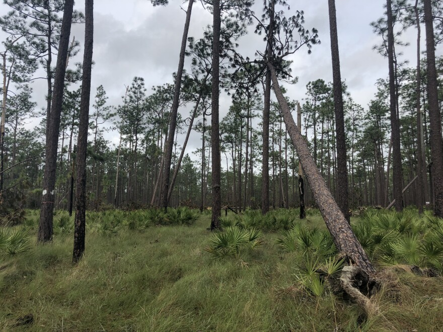A pine savanna ecosystem in the Apalachicola National Forest shows pine trees damaged from Hurricane Michael.