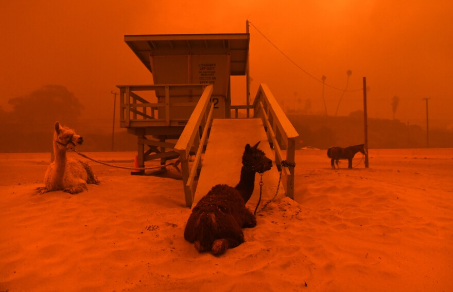 Llamas are tied to a lifeguard stand on the beach in Malibu as the fire approaches.