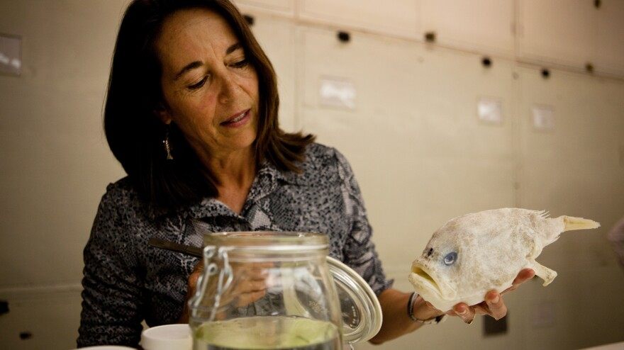 Carole Baldwin, a research zoologist at the National Museum of Natural History, collected this sea toad via a small submarine in the deep sea near Curacao.