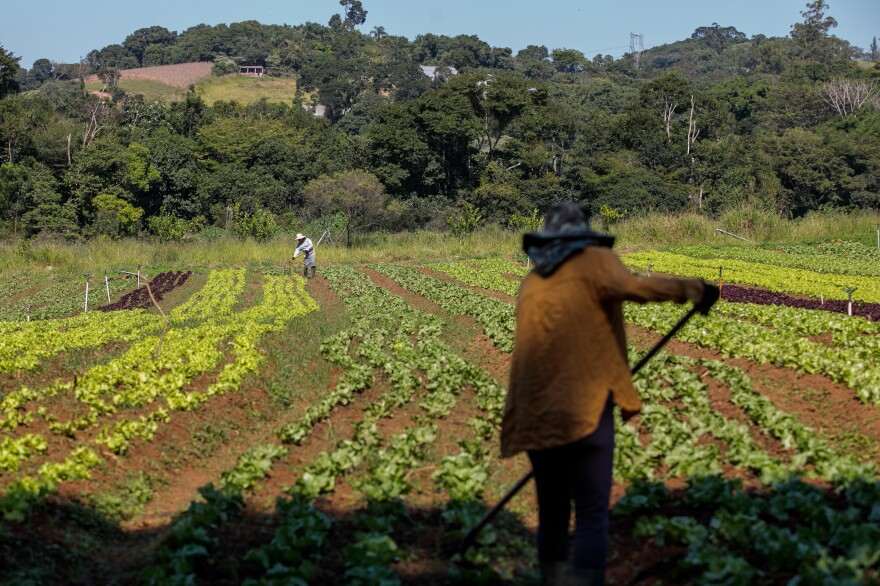 Workers on an organic lettuce farm that participates in the food box program. The farm is in Morungaba, a town in Sao Paulo state.