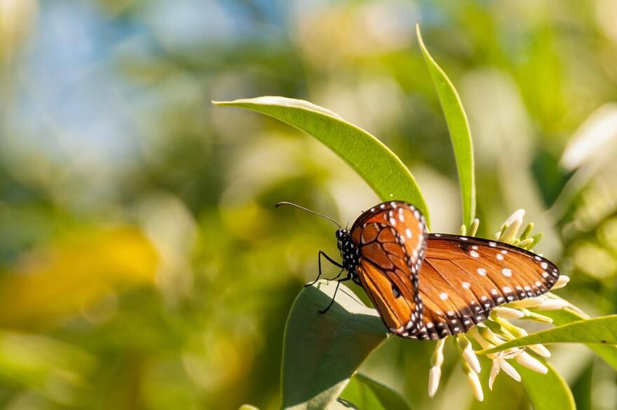queen_butterfly_bvi4092_cc-by.jpg