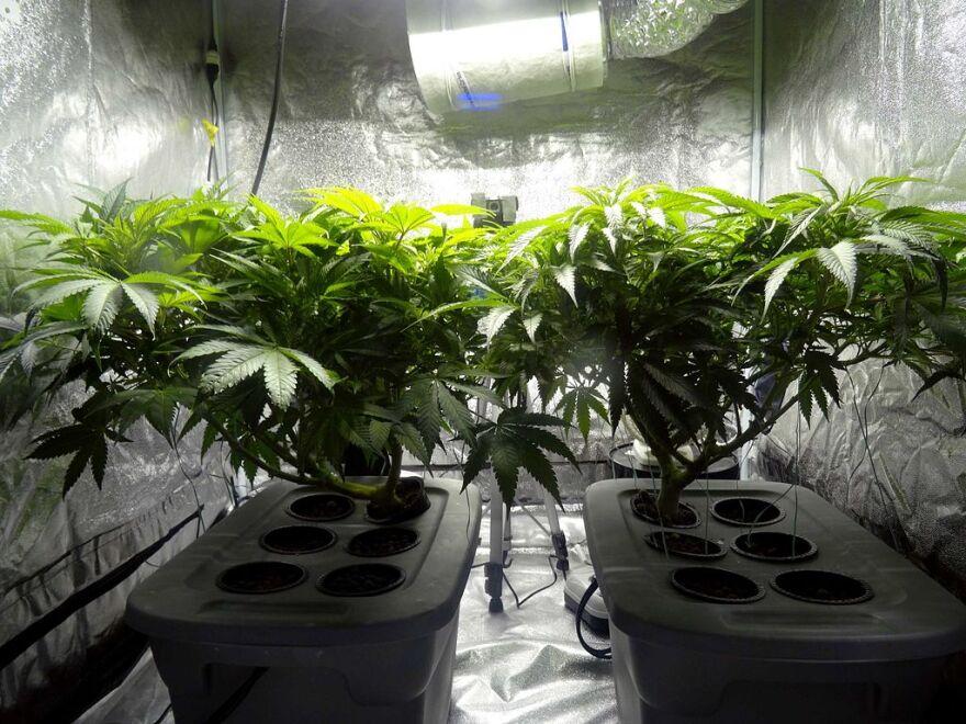 Indoor_cannabis_plants.jpg