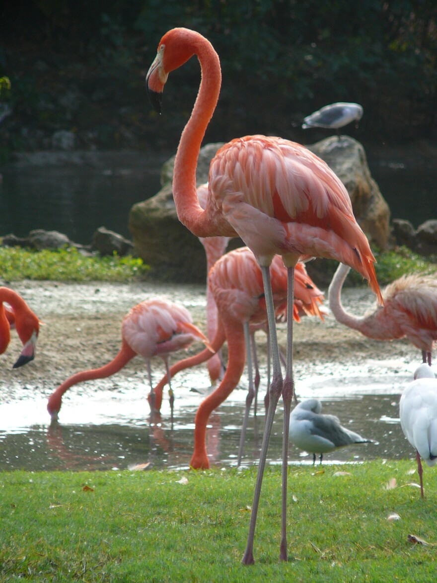Flamingos_Bush_Gardens_1.jpg