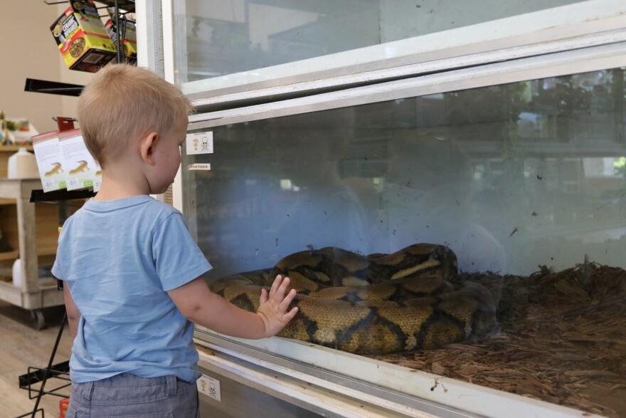 Boy looks at a python inside a glass cage