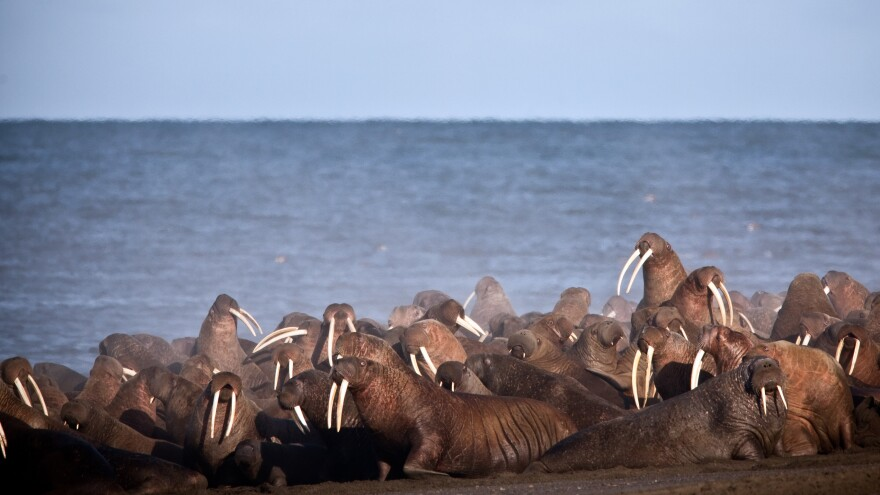 Walruses rest on the shores of the Chukchi Sea, the vast majority of which was designated off-limits to drilling on Tuesday.