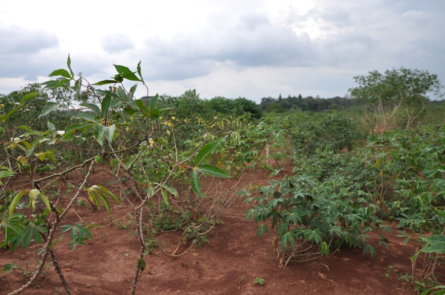 Conventionally-bred varieties of cassava are tested in a field next to Uganda's National Crops Resources Research Institute in Namulonge.