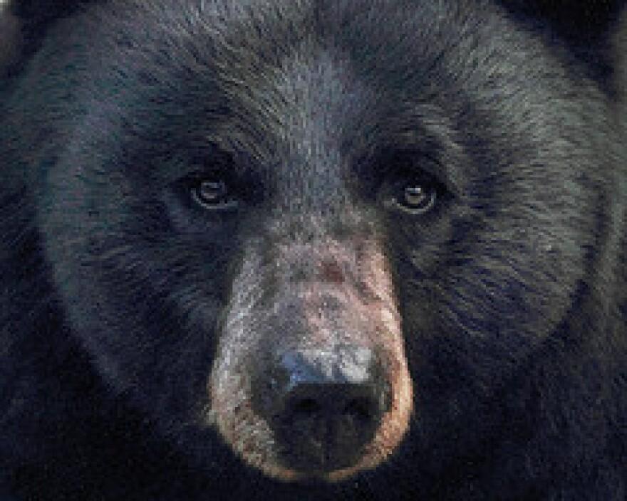 black_bear_cc.jpg