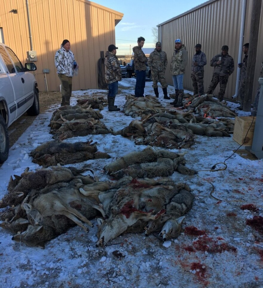 010821_Submitted_Coyote kill