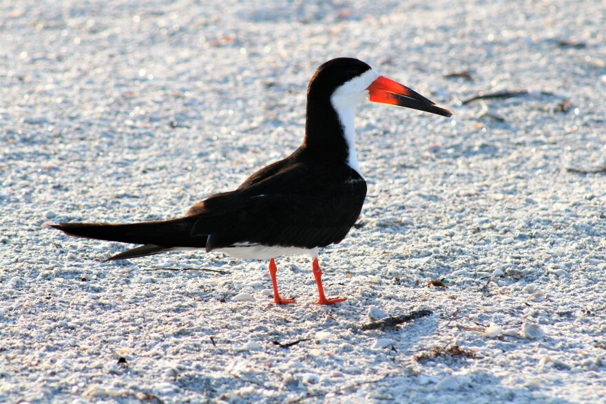 Black skimmer walking along the beach at Lido Key in Sarasota County.