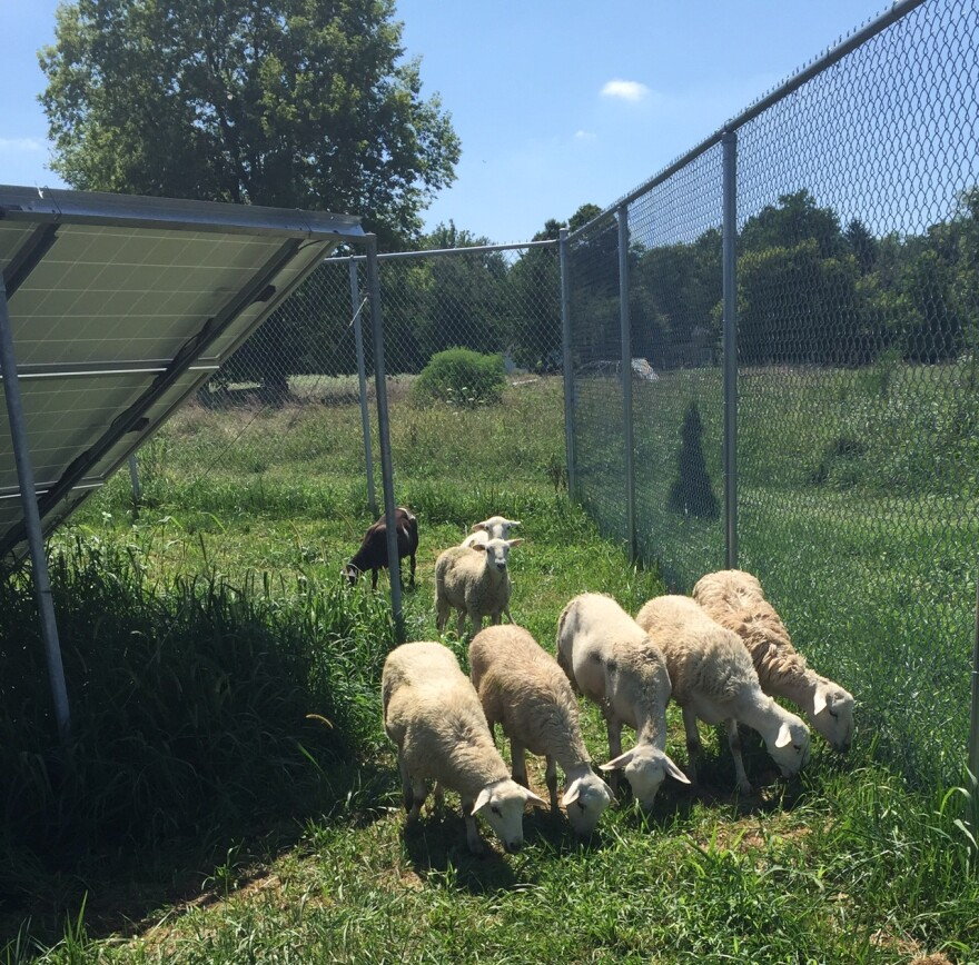 On this day, Antioch's 'solar sheep' move in a line formation, chomping and chewing on tufts of tall grass around acres of solar array panels.