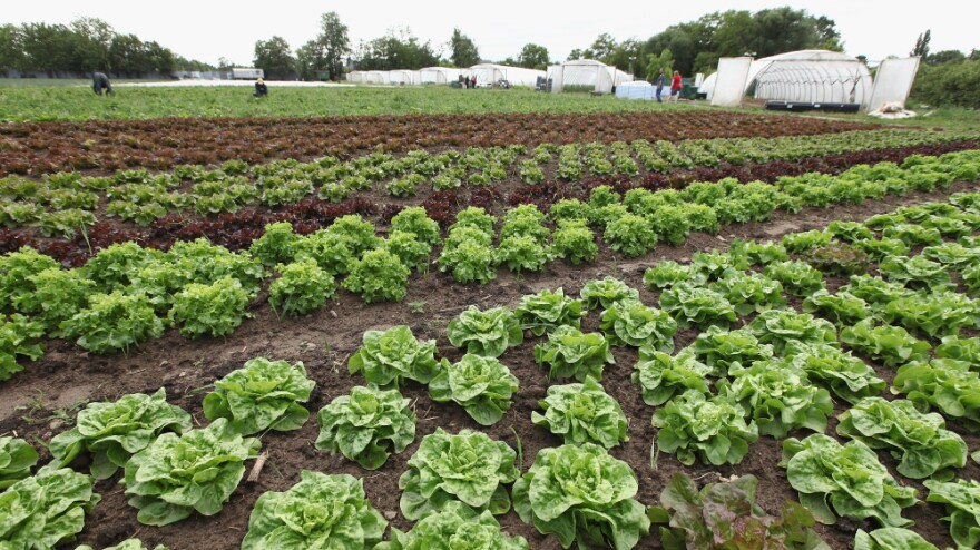 Lettuce at an organic vegetable farm in Teltow, Germany. Organic farmers in Germany are reporting a surge in demand for lettuce and cucumbers in the wake of an outbreak of <em>E. coli</em> after health officials warned people not to eat cucumbers, lettuce and tomatoes, though organic produce may not  necessarily be safer.