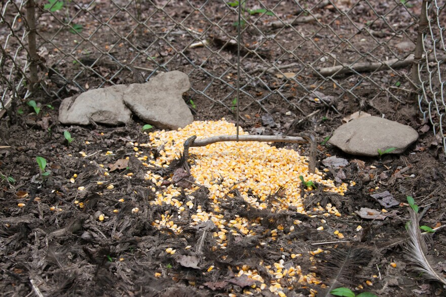 A hog trap with corn on the inside.
