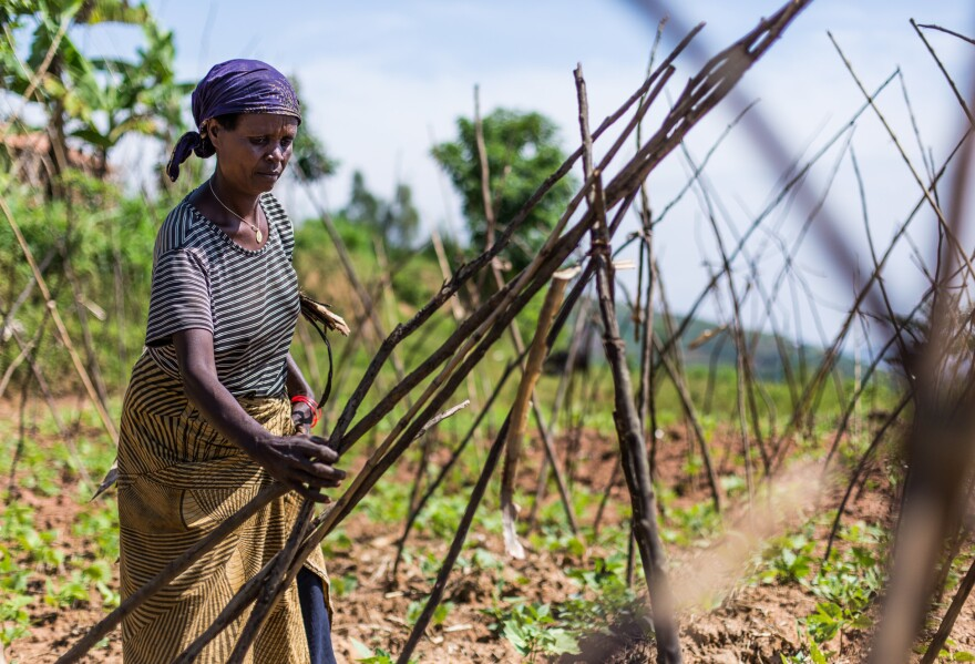 A farmer in western Rwanda prepares her bean field for the growing season.