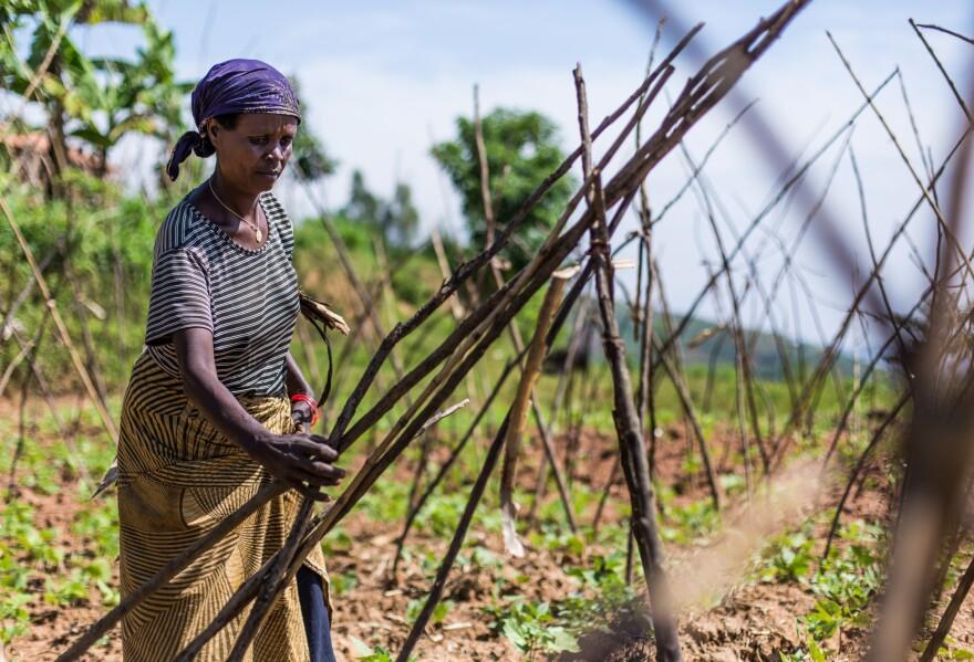 A farmer in western Rwanda prepares her bean field for the growing season.